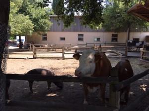 Sonnenhof Kühe