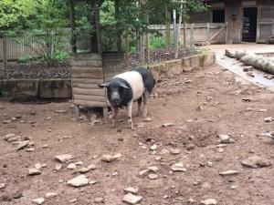 Wildpark Pforzheim Schwein