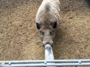 Wildpark Pforzheim Wildschwein