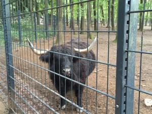 Wisent im Wildpark Pforzheim