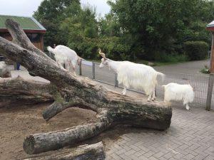 St. Peter-Ording_Westküstenpark Ziegen