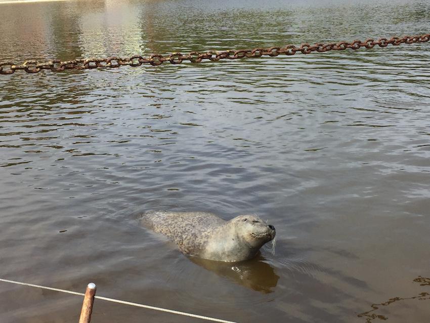 Seehund im Westküstenpark